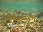 Grayling under water