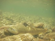 Brown trout resting