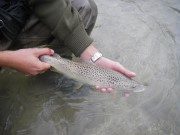 Brown trout, April, Slovenia