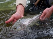Marble trout of Slovenia