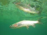 Rainbow trout reflection
