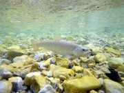 Bistrica brown trout, June