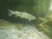Light colored marble trout, Slovenia