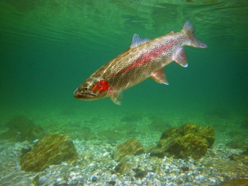 Rainbow Trout Oncorhynchus Mykiss Lustrik